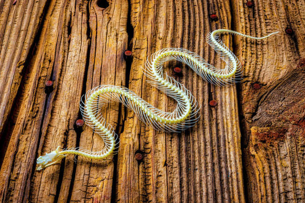 Wall Art - Photograph - Snake Skeleton On Wooden Boards by Garry Gay