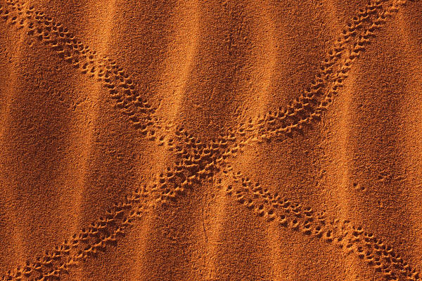 Photograph - Snake Tracks In Sand, Namib-naukluft by Danita Delimont