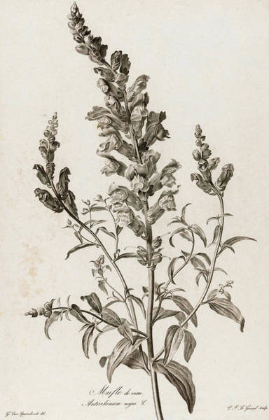 Wall Art - Painting - Snapdragon, 1801 by Pierre Francois Legrand