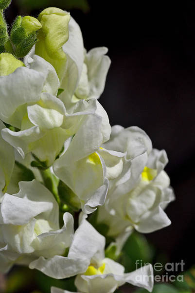 Photograph - Snapdragon Flower Summer White by Joy Watson