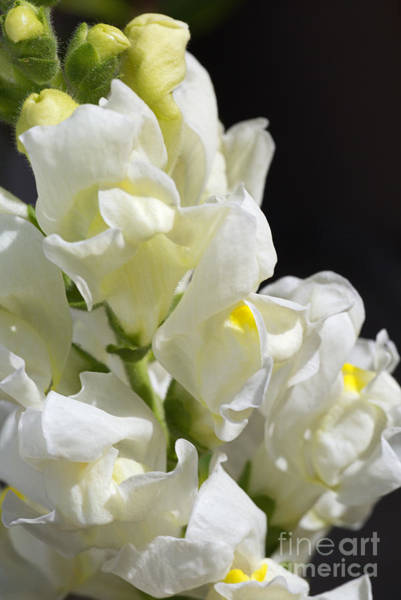 Photograph - Snapdragon Flowers Of White by Joy Watson
