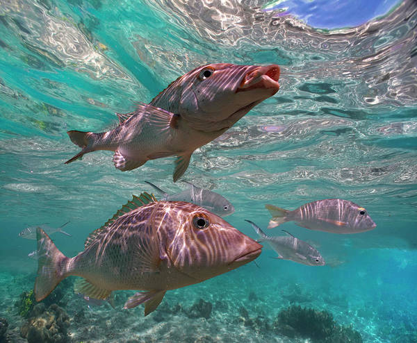 Wall Art - Photograph - Snapper On Ningaloo Reef, Australia by Tim Fitzharris