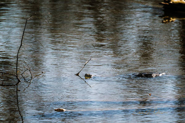 Photograph - Snapping Turtle Swimming by Edward Peterson
