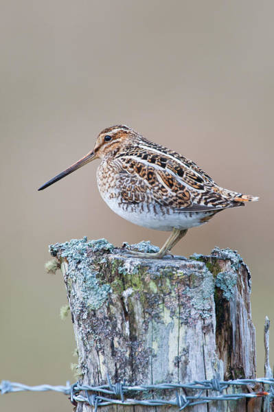 Fence Post Photograph - Snipe, Gallinago Gallinago, On Post by Mike Powles