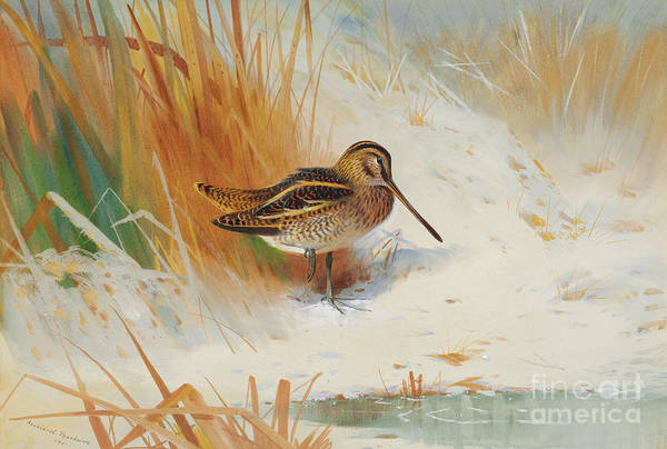 Wall Art - Painting - Snipe In The Rushes, 1901  by Archibald Thorburn