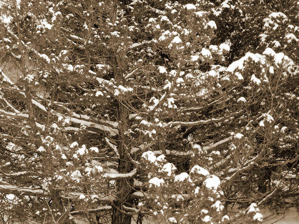 Photograph - Snow And Branches by Cris Fulton