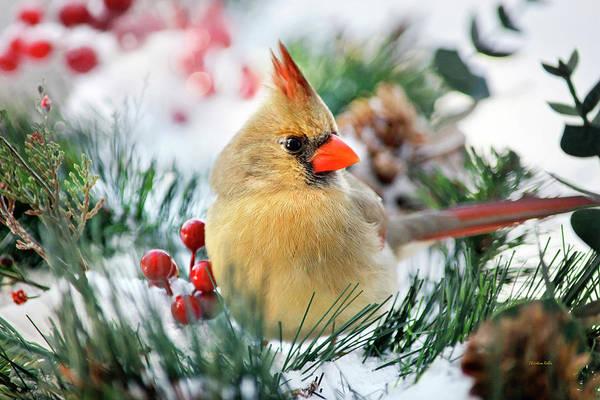 Female Cardinal Photograph - Snow Cardinal by Christina Rollo