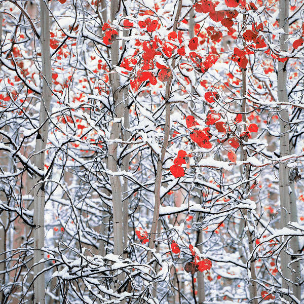 Wall Art - Photograph - Snow Covered Aspen Trees by Panoramic Images