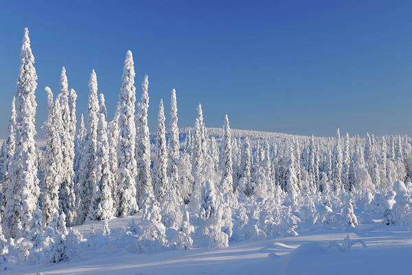 Bleached Photograph - Snow Covered Forest, Niskala, Northern by Raimund Linke