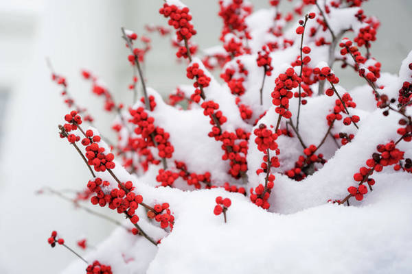Painting - Snow-covered Red Berries Are Seen At The White House by Celestial Images