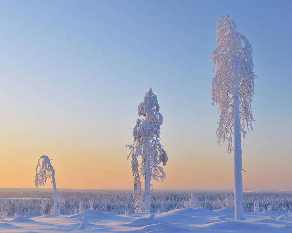 Bleached Photograph - Snow Covered Trees At Dawn, Nissi by Raimund Linke