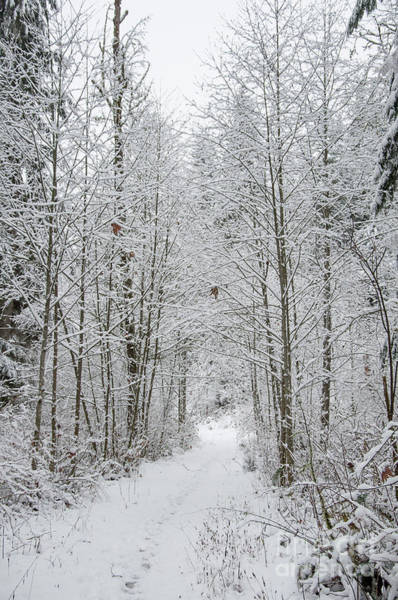 Digital Art - Snow Covered Trees Line The Path by Kirt Tisdale