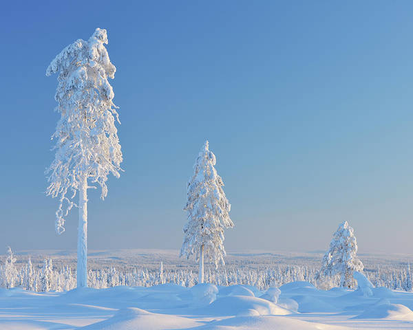 Bleached Photograph - Snow Covered Trees, Nissi, Northern by Raimund Linke