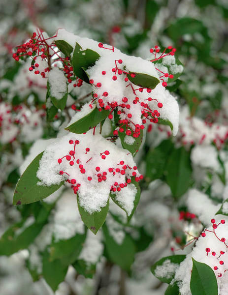 Photograph - Snow Covered Winter Berries by Lora J Wilson