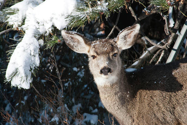 Photograph -  Snow-dusted Female Mule Deer by Cascade Colors