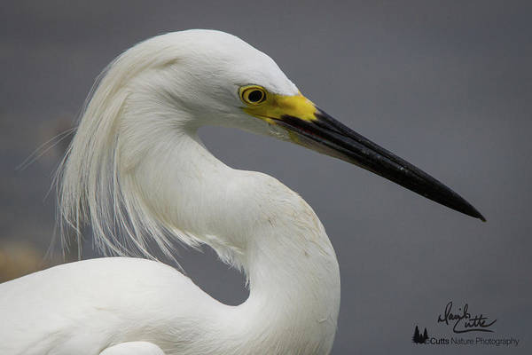 Photograph - Snow Egret Portrait by David Cutts