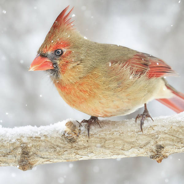 Photograph - Snow Falls Around A Cardinal by Jim Hughes