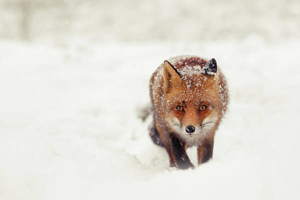 Wall Art - Photograph - Snow Fox Series - A Fox In The Snow Encounter by Roeselien Raimond