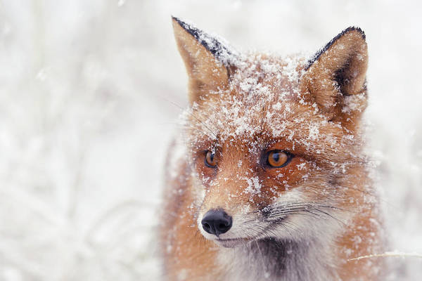 Wall Art - Photograph - Snow Fox Series -foxy Face by Roeselien Raimond