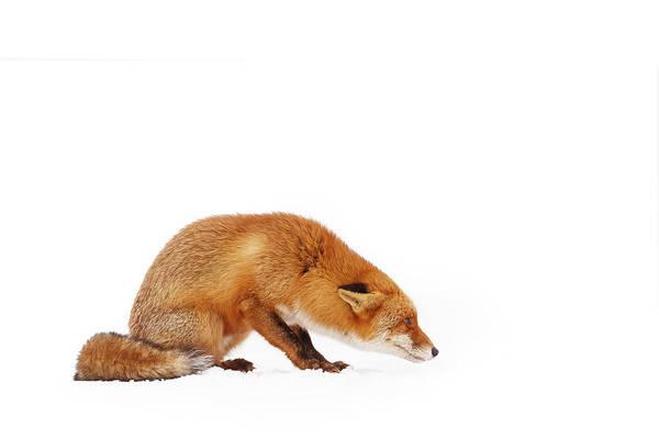 Wall Art - Photograph - Snow Fox Series - It Wasn't Me... by Roeselien Raimond