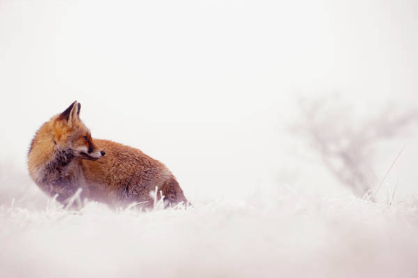 Wall Art - Photograph - Snow Fox Series - Looking Forward To The New Year by Roeselien Raimond