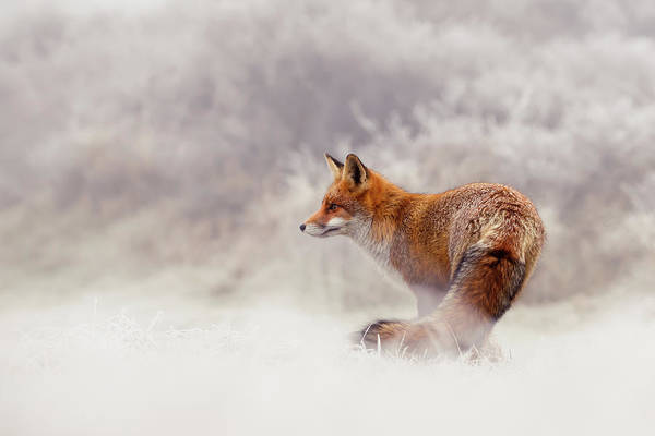Wall Art - Photograph - Snow Fox Series - Lost In This World by Roeselien Raimond