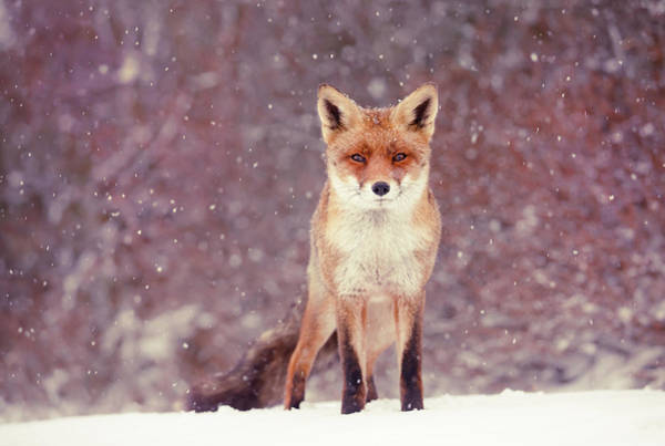 Flake Photograph - Snow Fox Series - Mrs. Self Assured, Not Insecure by Roeselien Raimond
