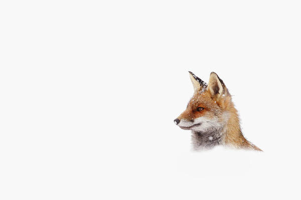 Wall Art - Photograph - Snow Fox Series - Out Of The White by Roeselien Raimond