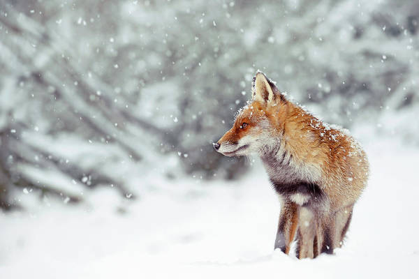Wall Art - Photograph - Snow Fox Series -  Red Fox In A Fairytale Forest by Roeselien Raimond