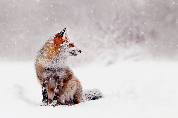 Flake Photograph - Snow Fox Series - Red Fox Sitting In A Snow World by Roeselien Raimond