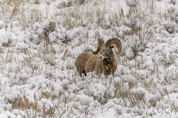 Photograph - Snow Gazer by Ronnie and Frances Howard