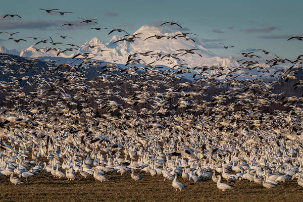 Photograph - Snow Geese And Mount Baker by Mark Kiver