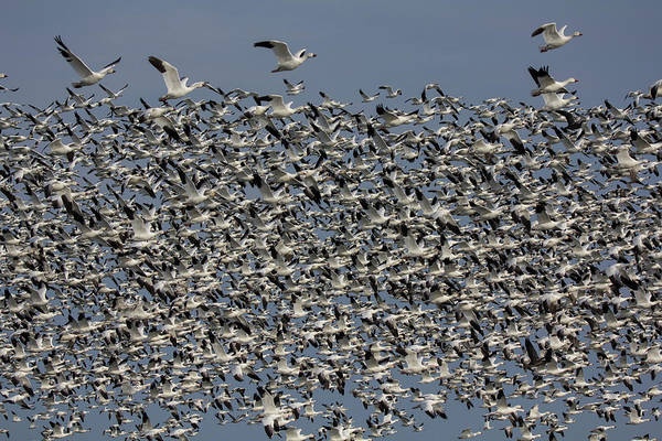 Delaware State Park Wall Art - Photograph - Snow Geese At Henlopen by Robert Pilkington