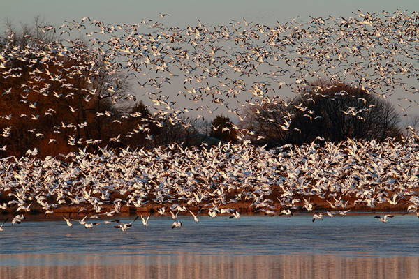 Delaware Photograph - Snow Geese by Carson Lin, West Chester, Pennsylvania