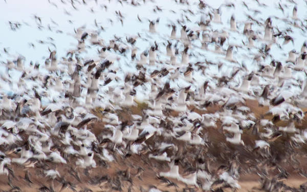 Wall Art - Photograph - Snow Geese Chaos by Jean Noren