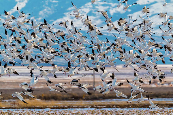 Photograph - Snow Geese Coming In by TL Mair