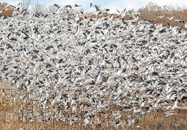 Digital Art - Snow Geese Explosion by Judi Dressler