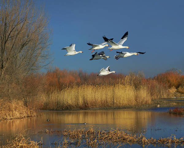 Mother Goose Photograph - Snow Geese Flying, Bosque Del Apache by
