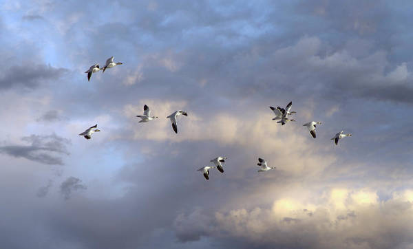 Photograph - Snow Geese In Flight by John Rivera