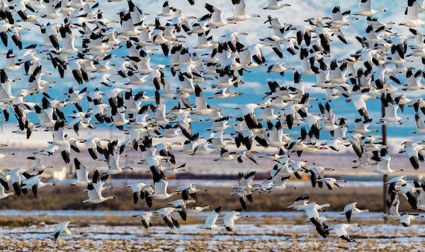 Photograph - Snow Geese In Flight by TL Mair