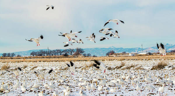 Photograph - Snow Geese Landing by TL Mair