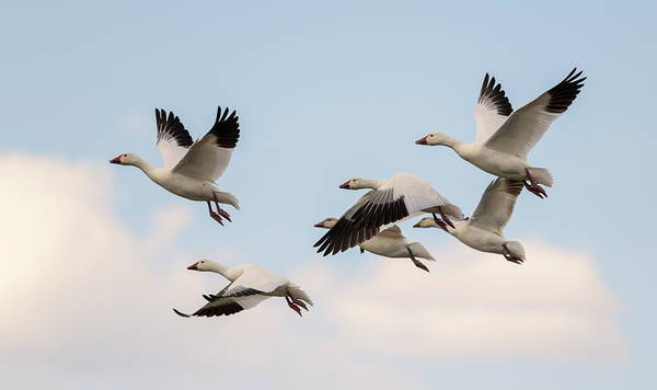 Photograph - Snow Geese by Loree Johnson
