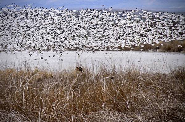 Photograph - Snow Geese Migration by Ed  Riche