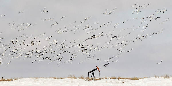 Photograph - Snow Geese Over Oil Pump 02 by Rob Graham