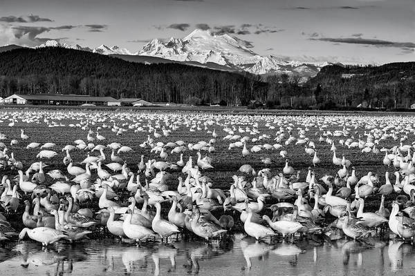 Photograph - Snow Geese Reflection Black And White by Mark Kiver