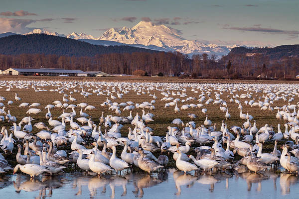 Photograph - Snow Geese Reflection by Mark Kiver