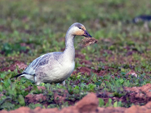 Photograph - Snow Goose 1160-111818-1cr by Tam Ryan