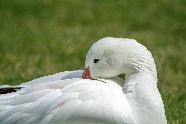 Photograph - Snow Goose 5031-022419 by Tam Ryan