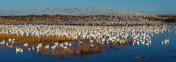 Wall Art - Photograph - Snow Goose Anser Caerulescens Colony by Panoramic Images