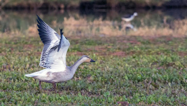 Photograph - Snow Goose 1179-111818-1cr by Tam Ryan